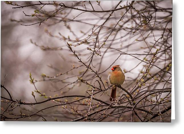 Greeting Card featuring the photograph Female Cardinal In Spring 2017 by Terry DeLuco