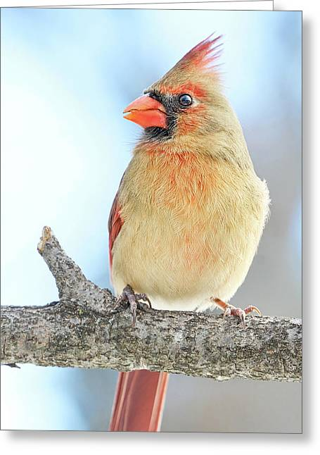 Female Cardinal On A Winter Morning Greeting Card