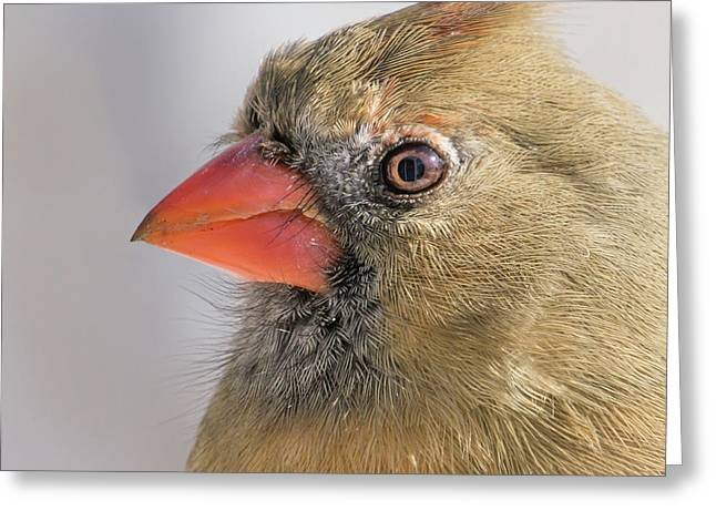 Female Cardinal Portrait Greeting Card