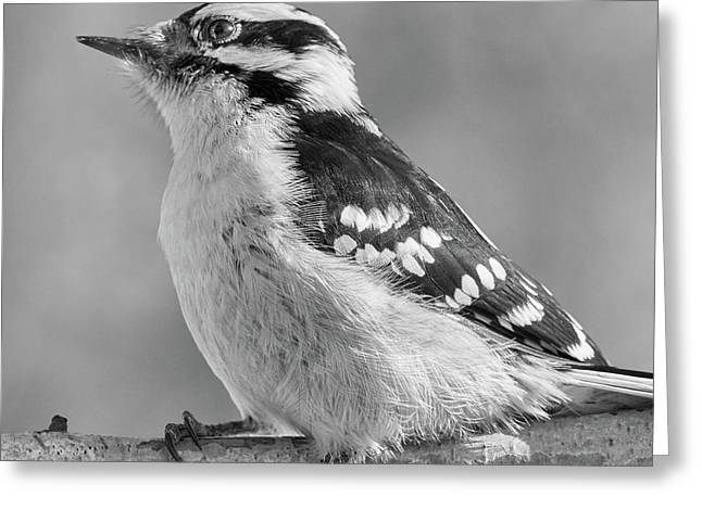 Female Downy Woodpecker In Winter Greeting Card