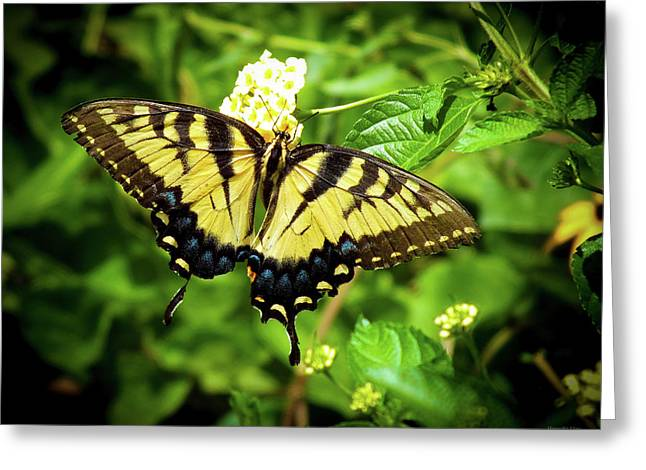 Female Eastern Tiger Swallowtail  Greeting Card