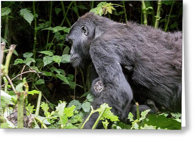 Female Gorilla Carrying Baby, Bwindi Impenetrable Forest Nationa Greeting Card