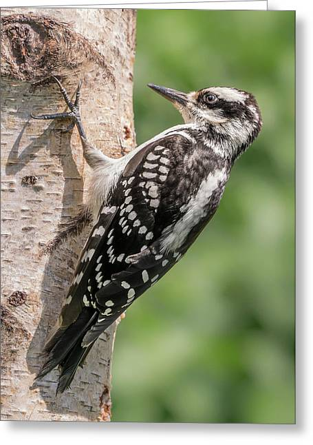 Female Hairy Woodpecker In Minnesota Greeting Card