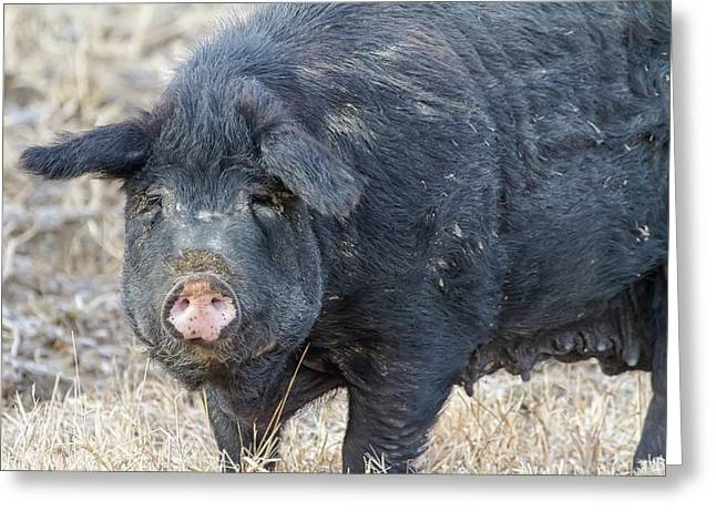 Female Hog Greeting Card