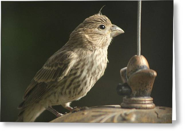 Female House Finch On Feeder Greeting Card