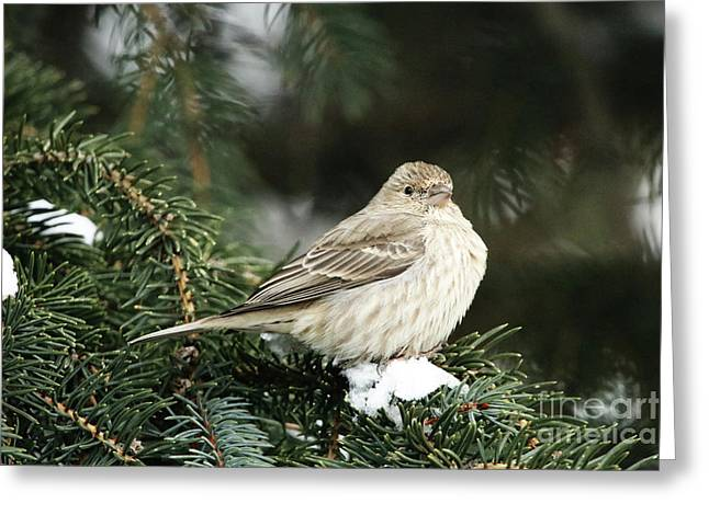 Female House Finch On Snow Greeting Card