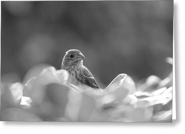 Female House Finch Perched In Black And White Greeting Card
