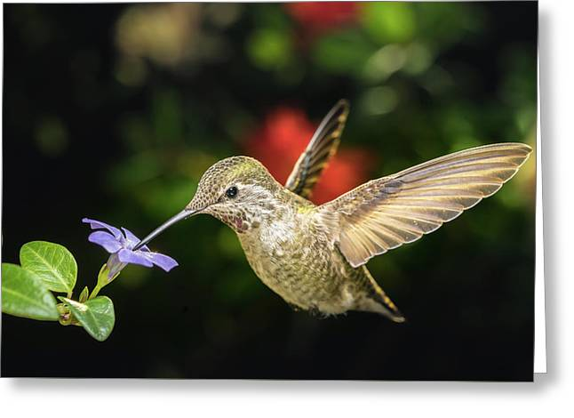 Greeting Card featuring the photograph Female Hummingbird And A Small Blue Flower Left Angled View by William Lee