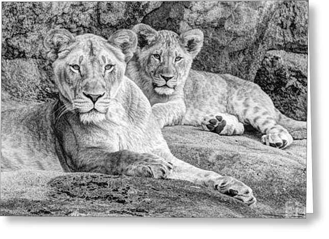 Female Lion And Cub Bw Greeting Card by Marv Vandehey