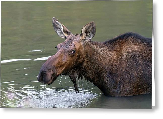 Greeting Card featuring the photograph Female Moose Head by James BO Insogna
