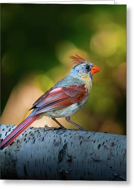 Female Northern Cardinal Greeting Card