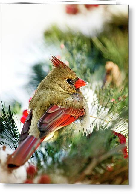 Cardinals In Snow Greeting Cards - Female Northern Cardinal Greeting Card by Christina Rollo