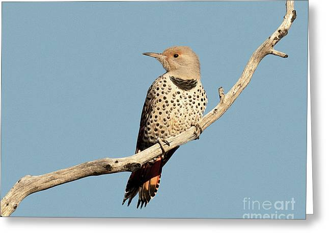 Female Northern Red Shafted Flicker Greeting Card