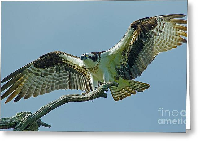 Female Osprey Greeting Card