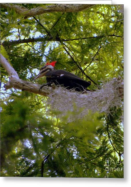 Female Pileated Woodpecker Greeting Card by Terri Mills