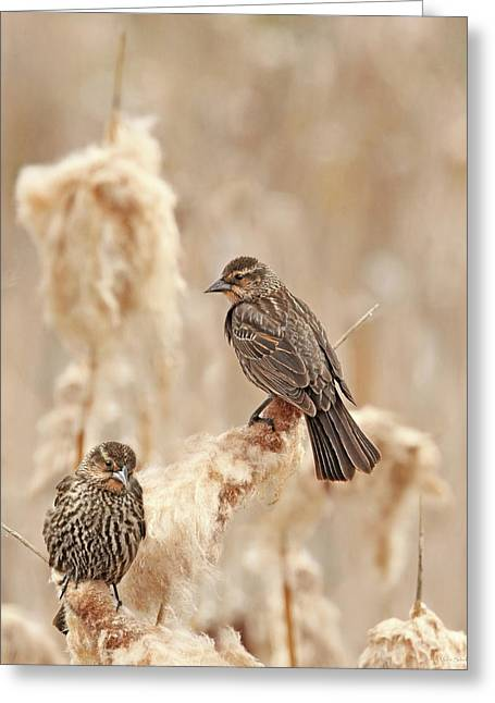 Greeting Card featuring the photograph Female Red-wing Blackbirds by Jennie Marie Schell