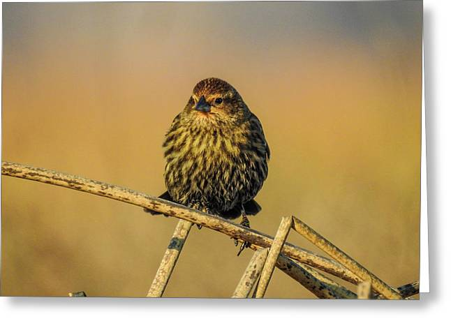 Female Red-winged Blackbird  Greeting Card