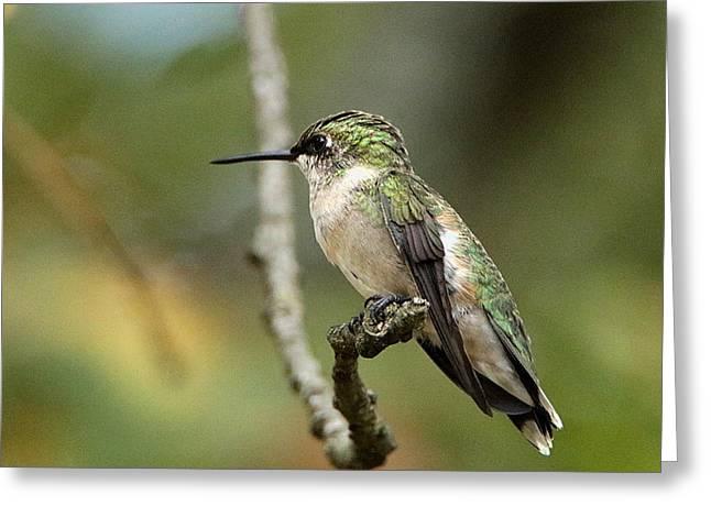 Female Ruby-throated Hummingbird On Branch Greeting Card