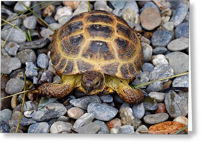 Female Russian Tortoise Greeting Card