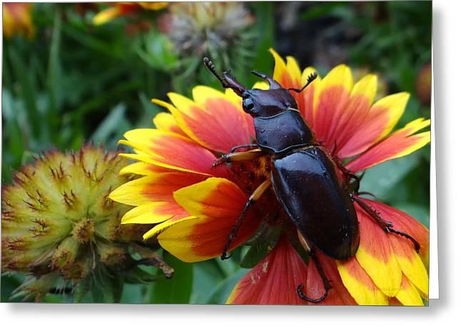 Female Stag Beetle Greeting Card