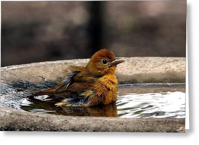 Female Summer Tanager In Bird Bath Greeting Card