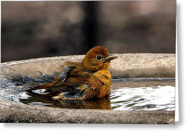 Female Summer Tanager In Bird Bath Greeting Card