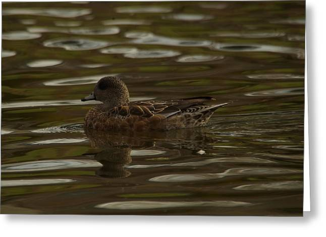 Greeting Card featuring the photograph Female Wigeon by Jeff Swan