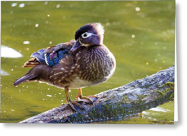 Female Wood Duck Greeting Card by David Gn