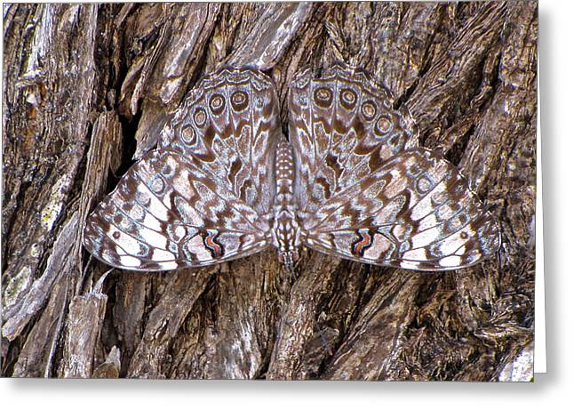 Greeting Card featuring the photograph Ferentina Calico Butterfly by Sean Griffin