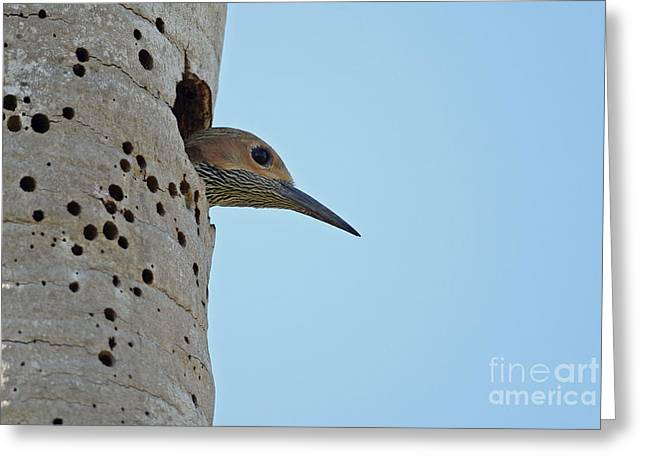Fernandinas Flicker In Nest Greeting Card by Neil Bowman/FLPA