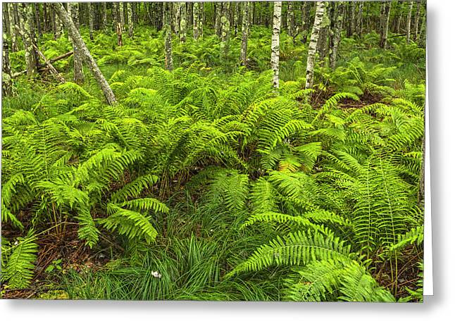 Ferns And Birch In Soft Light Greeting Card