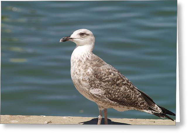 Greeting Card featuring the photograph Ferragudo Gull by Michael Canning