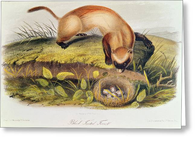 Ferret Greeting Card by John James Audubon