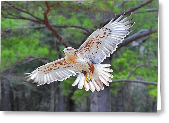 Ferriginious Hawk In Flight Greeting Card