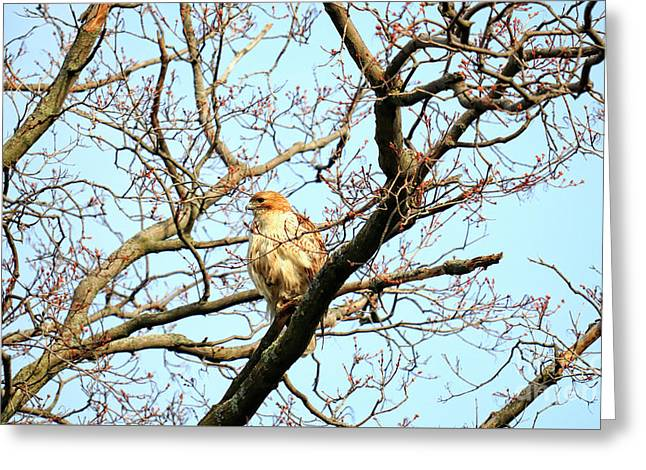 Greeting Card featuring the photograph Copper's Hawk Juvenile by Charline Xia