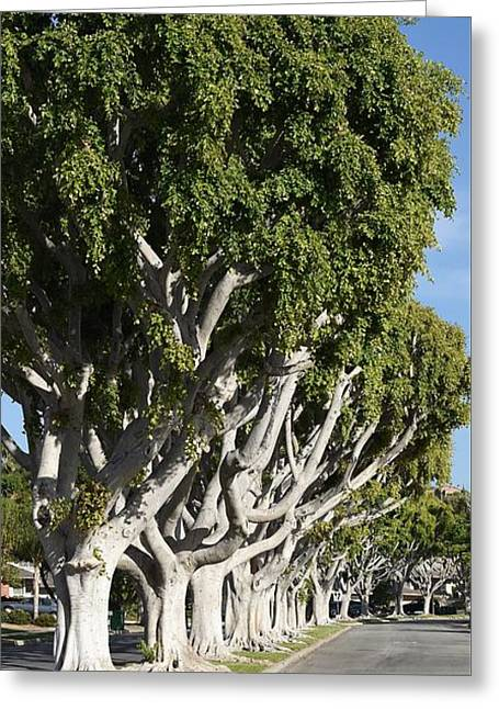 Ficus Trees I Greeting Card by Linda Brody