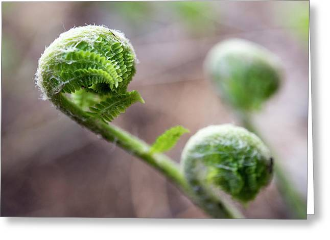 Fiddleheads Greeting Card
