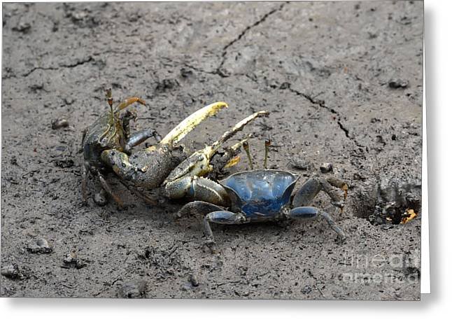 Fiddler Crab Fight Greeting Card