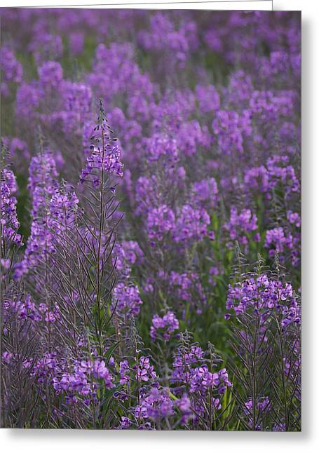 Field Of Fireweed Greeting Card