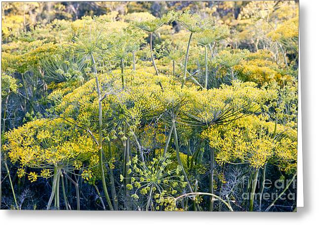 Flowers In California Greeting Cards - Field Of Flowering Dill Greeting Card by Inga Spence