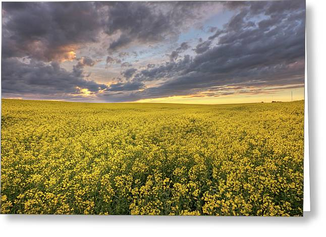 Greeting Card featuring the photograph Field Of Gold by Dan Jurak