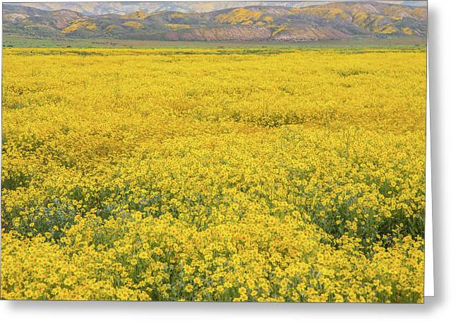 Greeting Card featuring the photograph Field Of Goldfields by Marc Crumpler