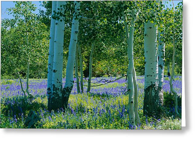 Field Of Lupine And Aspen Trees Greeting Card