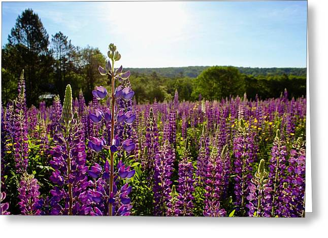 Field Of Lupines 1 Greeting Card