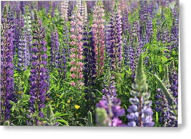 Field Of Lupines Square Greeting Card