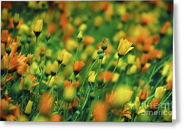 Field Of Orange And Yellow Daisies Greeting Card