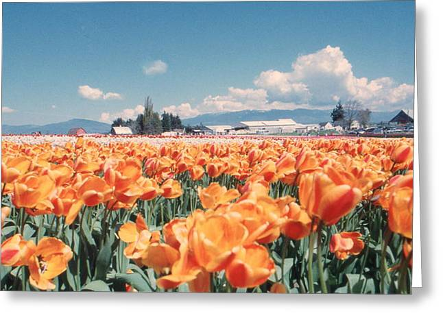 Field Of Orange Greeting Card