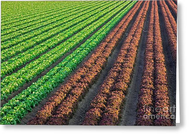 Field Of Organic Lettuce Greeting Card by Inga Spence