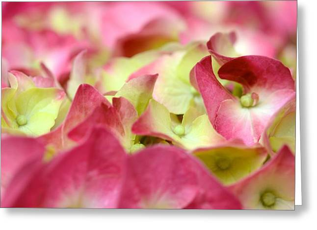 Greeting Card featuring the photograph Field Of Petals by Corinne Rhode