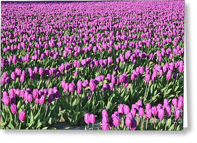 Field Of Purple Flowers Greeting Card